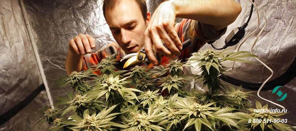 Последствия марихуаны