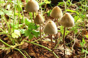 paneolus-navoznik-kolokolchatyj-motylkovyj-panaeolus-campanulatus-p-papilionaceus-lv8a0f